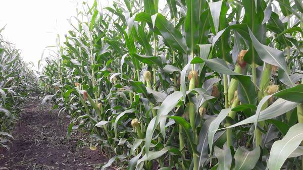 Maize Breeding Program of the Gabonakutató Nonprofit Kft within the framework of Pannon Breeding GINOP Program