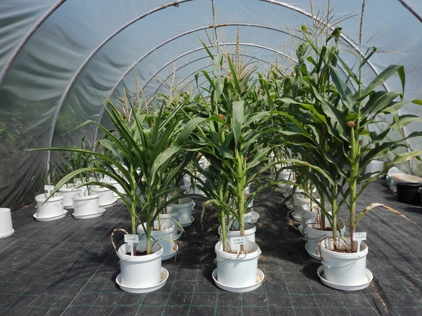 Stress based selection research in the framework of Pannon Breeding project